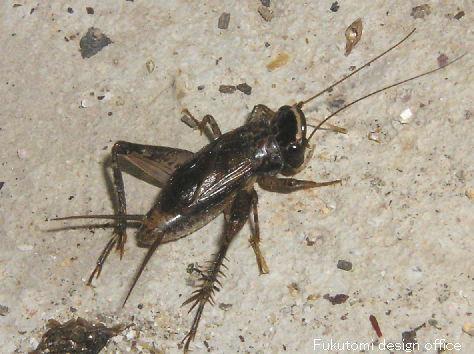 コオロギ - Cricket (insect)Forgot Password