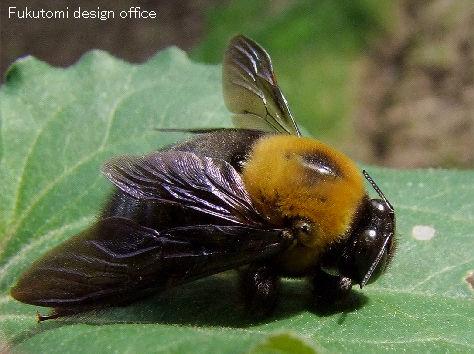 クマバチの画像 p1_25