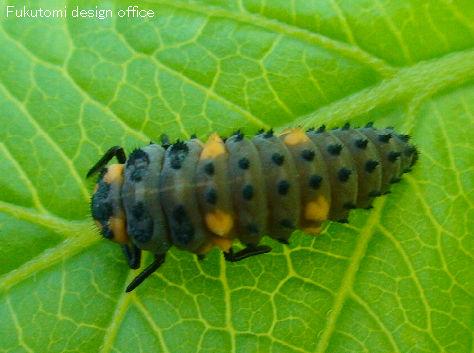 てんとう 虫 幼虫